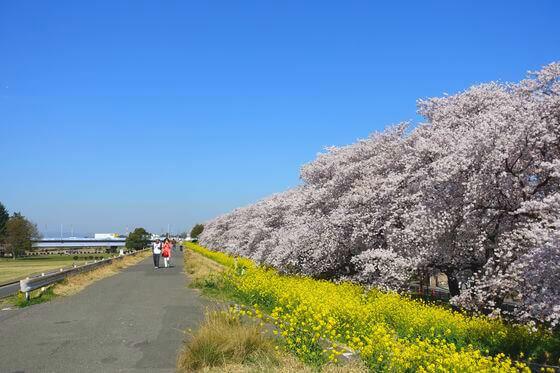 熊谷市 桜