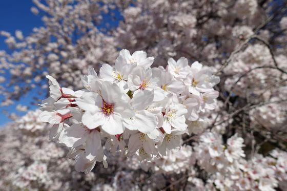 熊谷桜堤 桜 開花状況