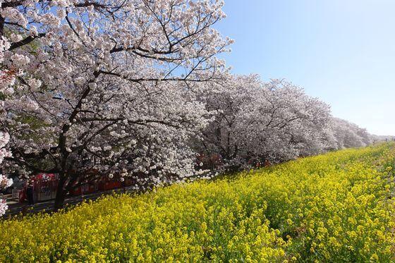 熊谷 花見