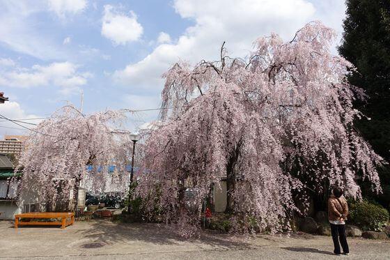 妙法寺 しだれ桜
