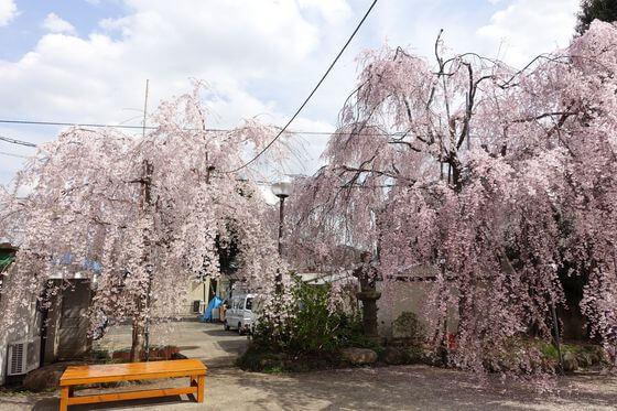 妙法寺 世田谷 桜