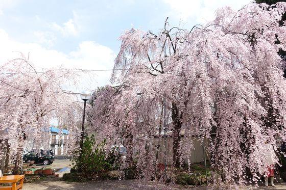 妙法寺 桜