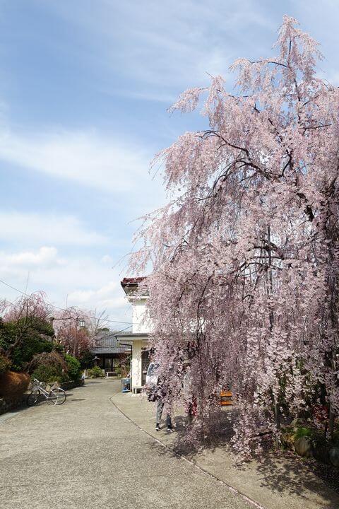 成城学園前 しだれ桜