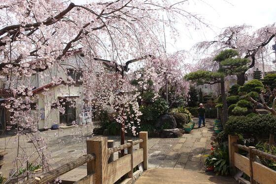 世田谷区 しだれ桜