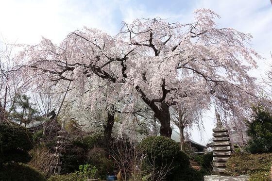 世田谷 枝垂れ桜