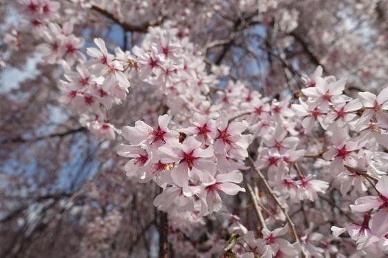 妙法寺 桜 開花状況