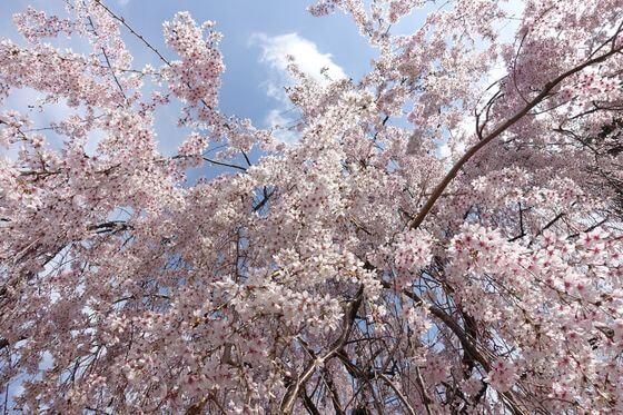 成城学園前 桜