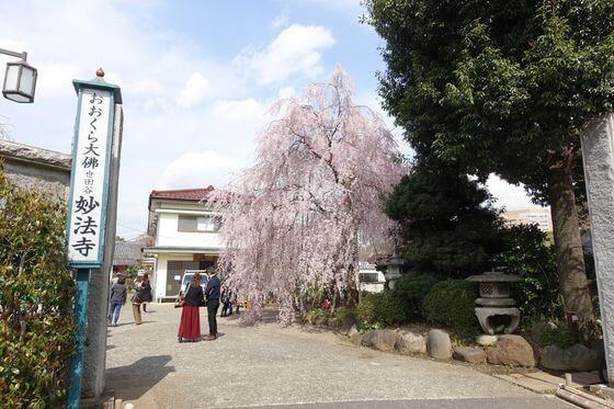 妙法寺 枝垂れ桜