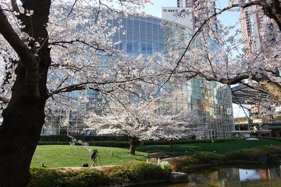 六本木 桜