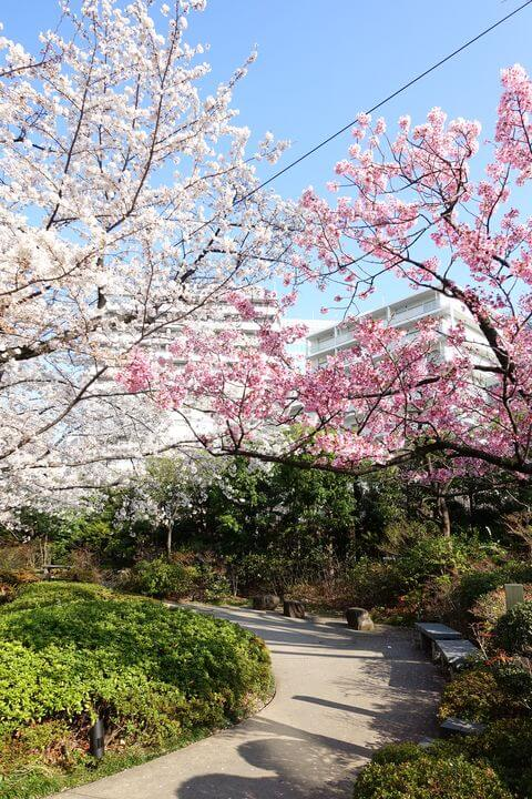 テレビ朝日 桜