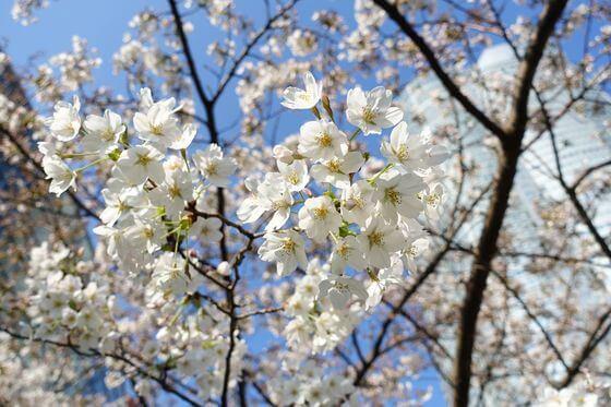 毛利庭園 桜 開花状況