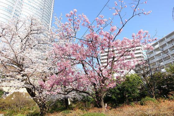 毛利庭園 河津桜