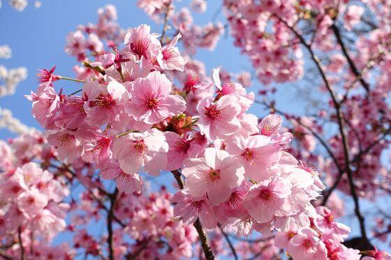 六本木 河津桜