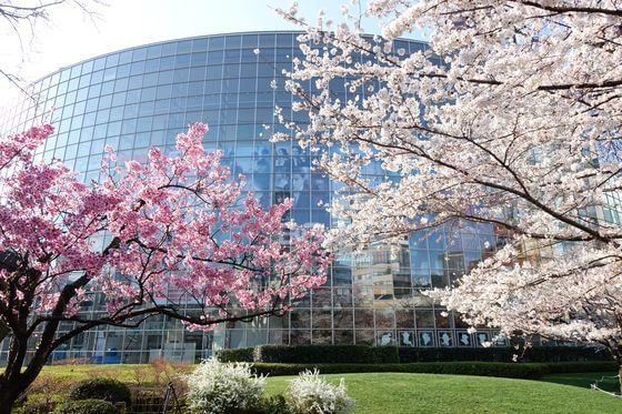 毛利庭園 桜