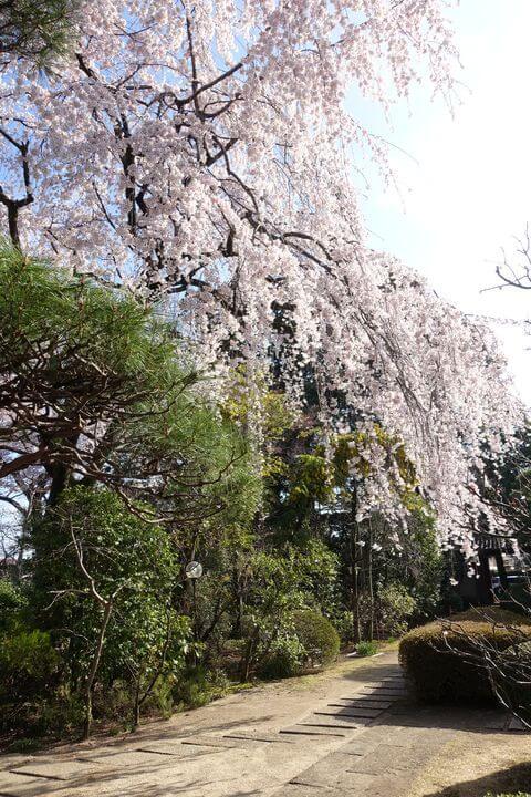 川越 中院 しだれ桜