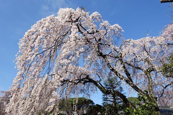 川越 中院 枝垂れ桜