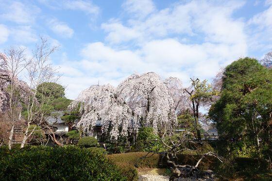 川越 中院 桜