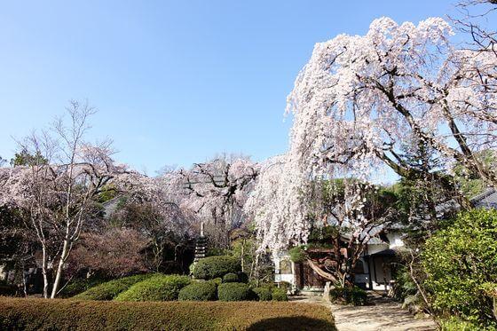 川越市 桜