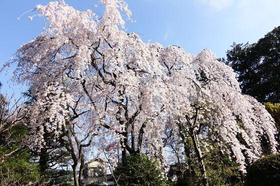 中院 桜 見頃
