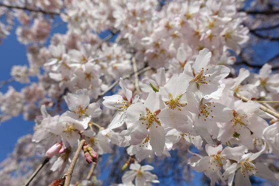 中院 桜 開花状況
