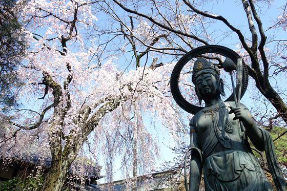 川越 枝垂れ桜