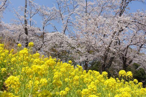 根岸森林公園 桜 見頃