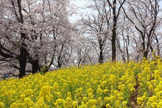 根岸森林公園 菜の花