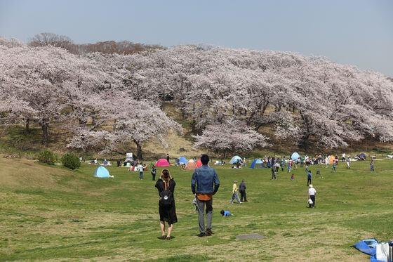 根岸森林公園 桜