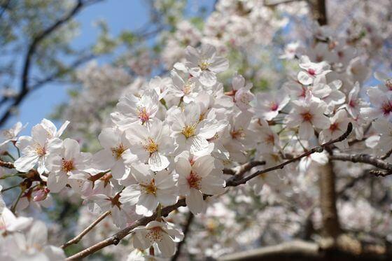根岸森林公園 桜 開花状況
