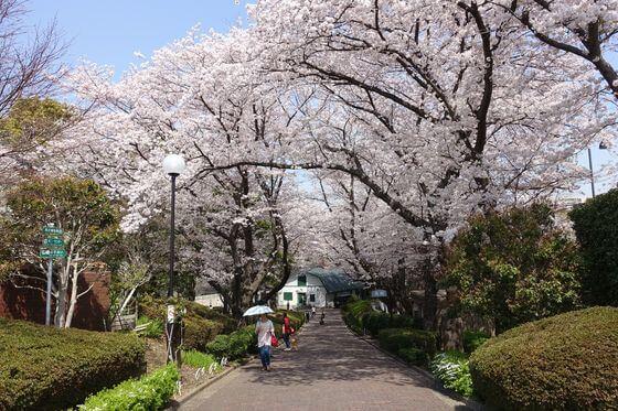 根岸森林公園 桜並木