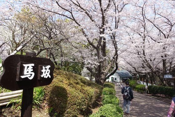 根岸森林公園 馬坂 桜