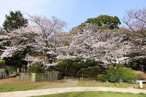 野毛山公園 桜 見頃