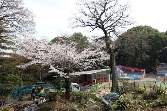 野毛山動物園 桜