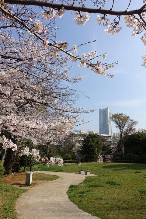 横浜 野毛 桜