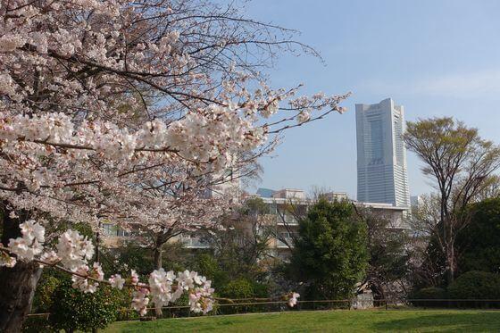 野毛山公園 桜