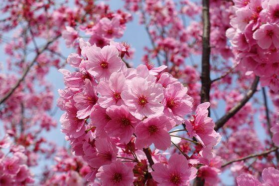 野毛山動物園 河津桜
