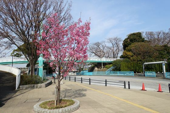野毛山公園 河津桜