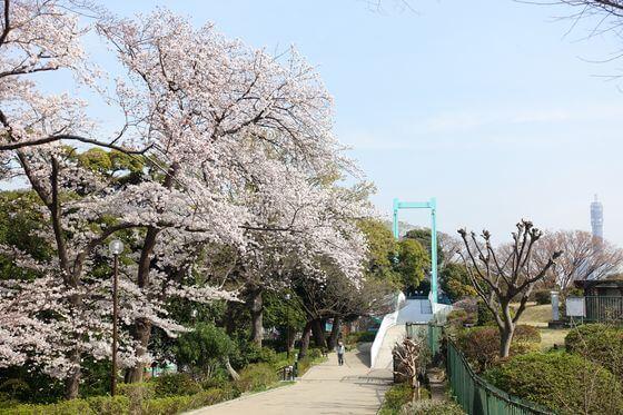 野毛のつり橋 桜