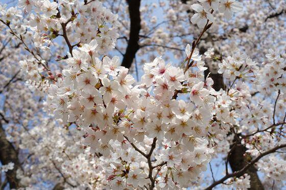 野毛山公園 桜 開花状況