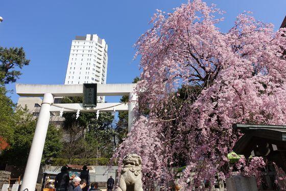 乃木神社 桜