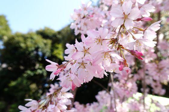 乃木神社 桜 見頃