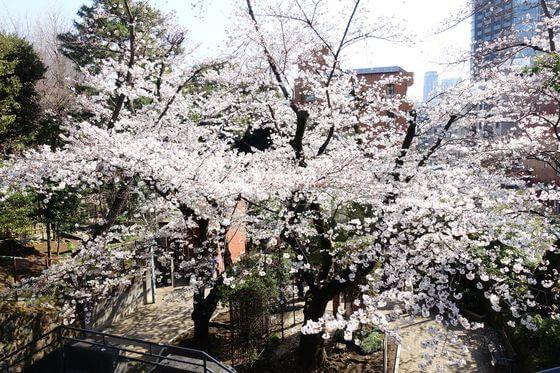 乃木公園 ソメイヨシノ