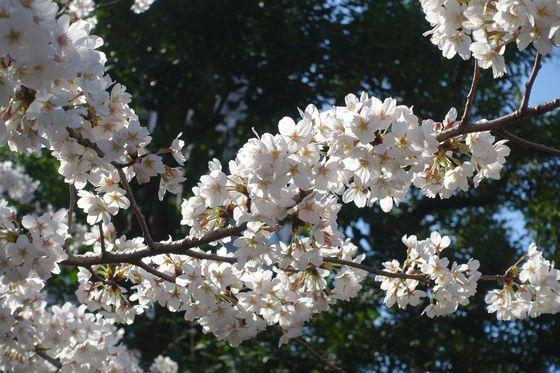 港区 乃木公園 桜