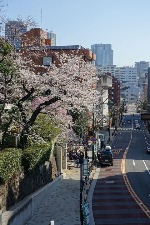 港区 乃木神社 桜