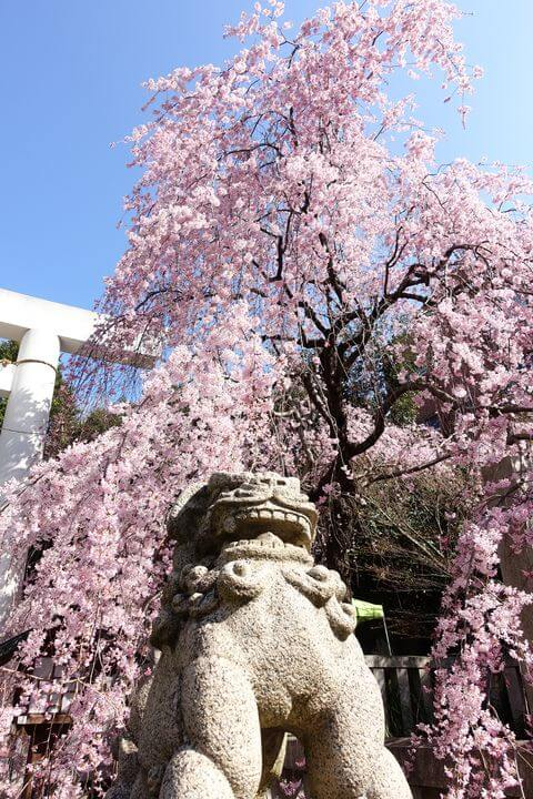 乃木神社 枝垂れ桜