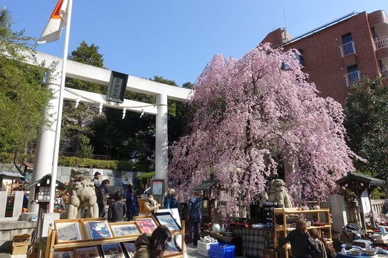 乃木神社 しだれ桜