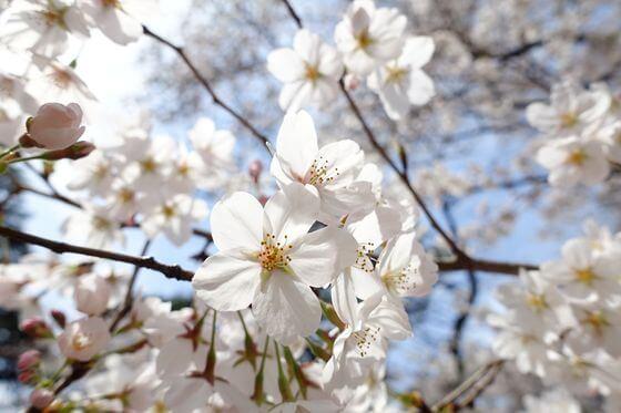 大宮公園 桜 開花状況