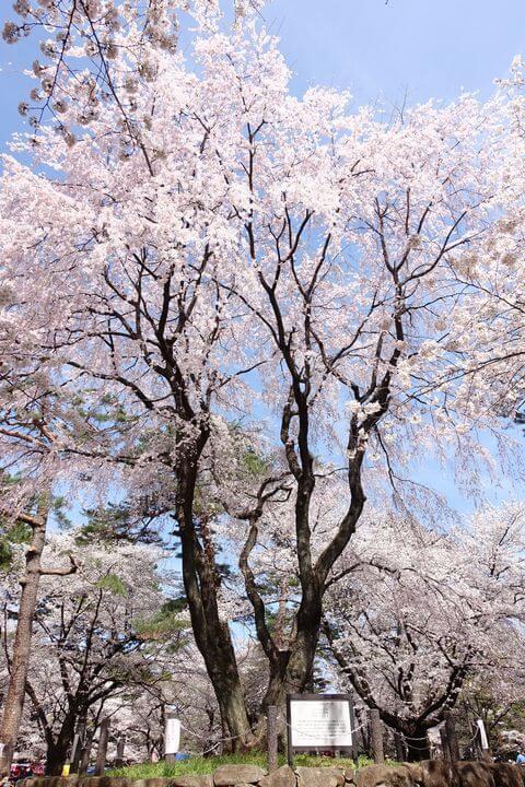 大宮公園 しだれ桜