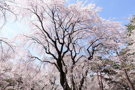 大宮 しだれ桜