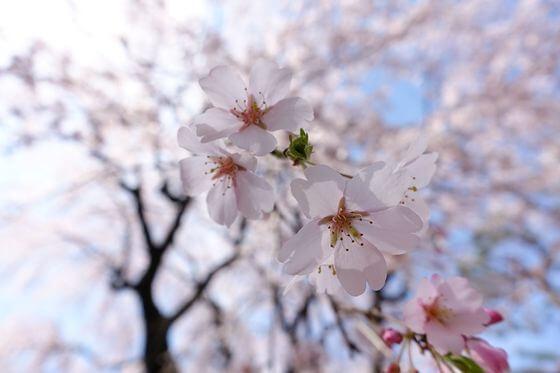 大宮公園 枝垂れ桜